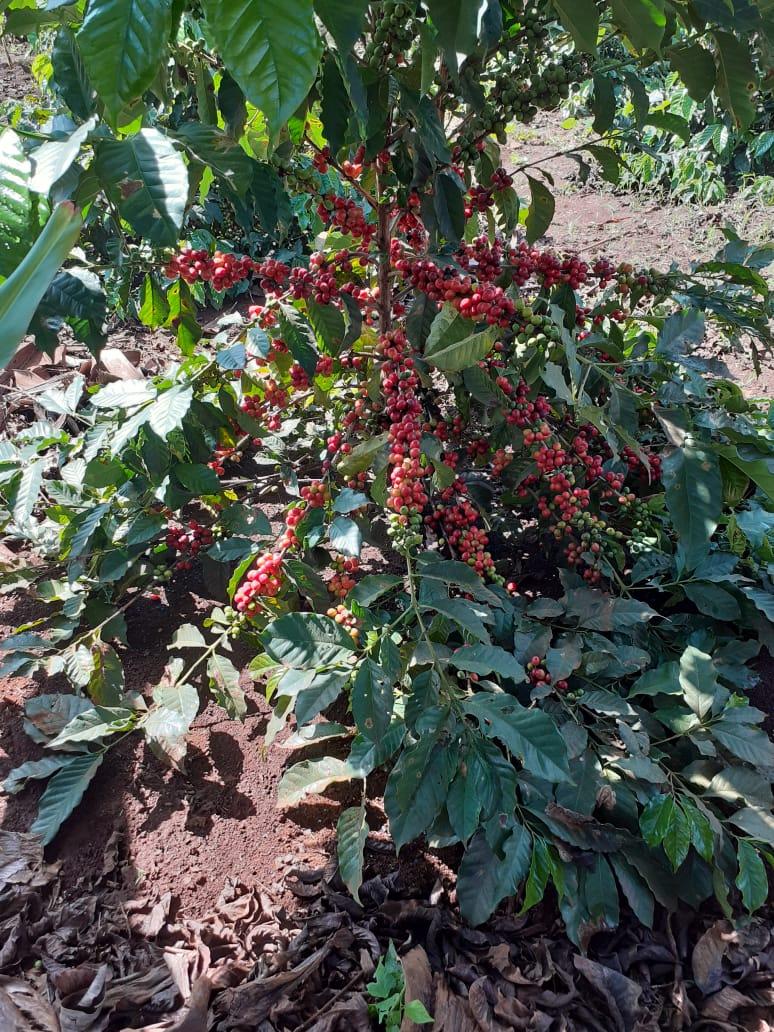 Single Origin Unroasted Green Coffee Beans Kenyan Ab